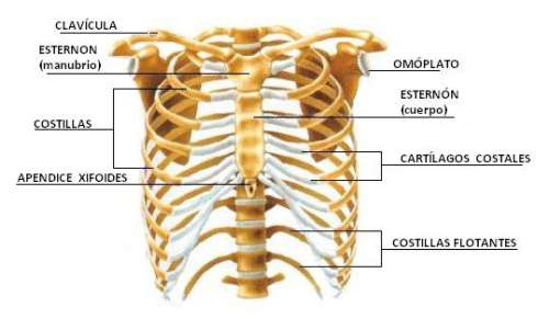 huesos-del-torax