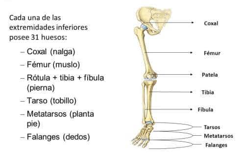 huesos-extremidades-inferiores